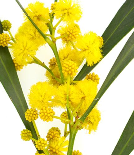 Acacia-Saligna2