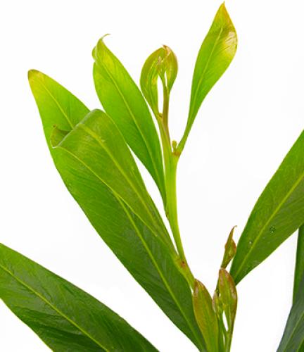 Acacia-Saligna