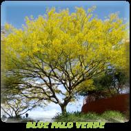 Blue-Palo-Verde