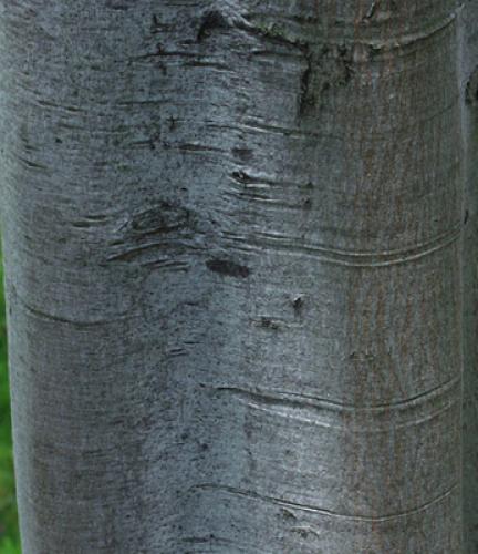 Carrot-Wood2