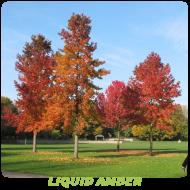 Liquid Amber