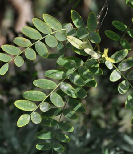 Tipu-Tree5