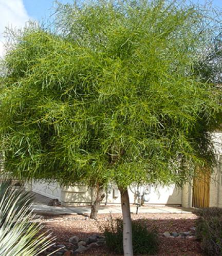 Acacia Saligna31