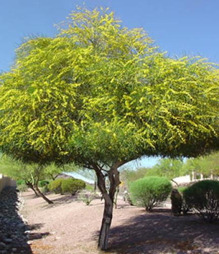 Acacia Saligna4