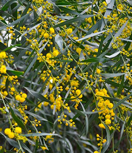 Acacia Saligna6