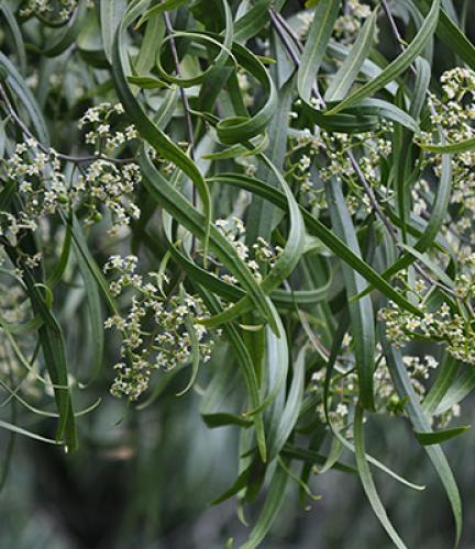 Australian Willow6