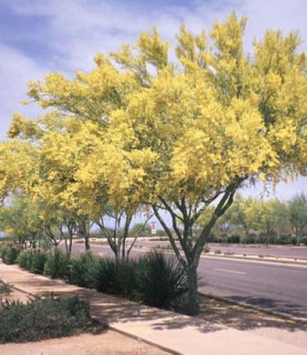 Blue Palo Verde61