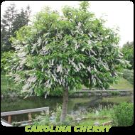 Carolina Cherry