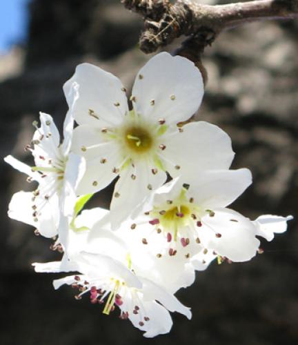 Flowering-Ornamental-Pear3