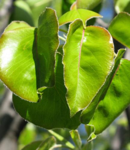 Flowering-Ornamental-Pear4