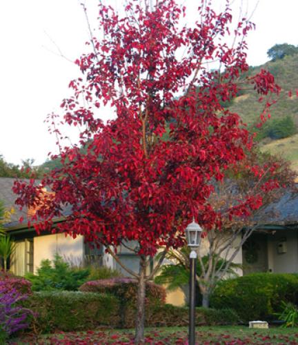 Flowering-Ornamental-Pear7
