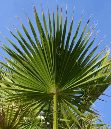 Mexican-Fan-Palm4