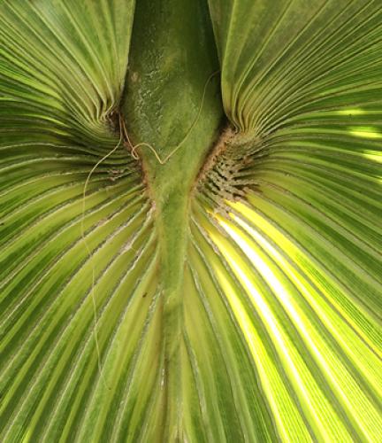 Mexican-Fan-Palm8