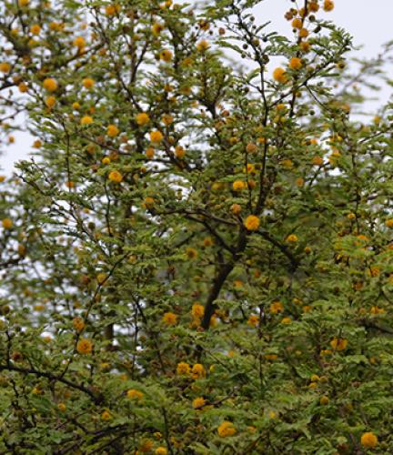 Sweet Acacia6