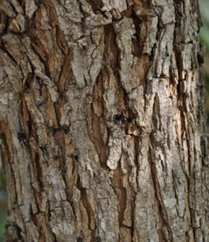 Tipu-Tree