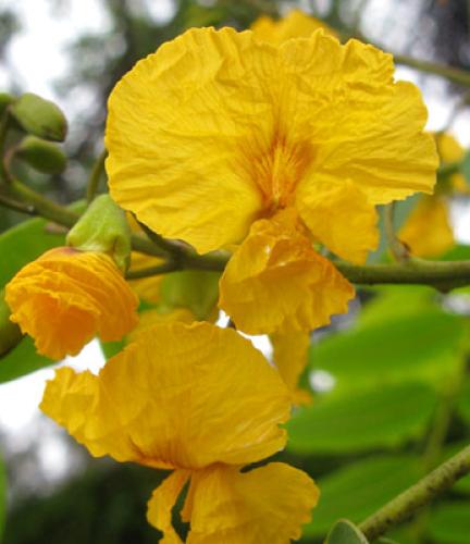 Tipu Tree3