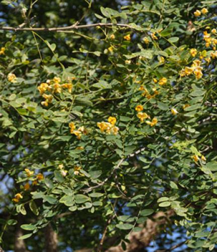 Tipu Tree4