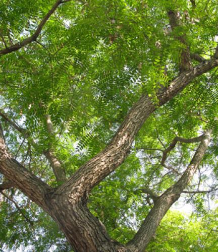 Tipu Tree6