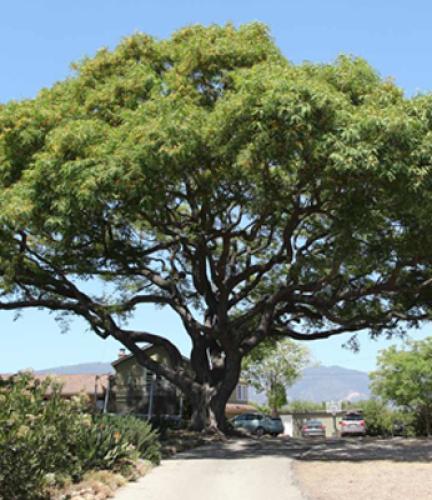 Tipu Tree7