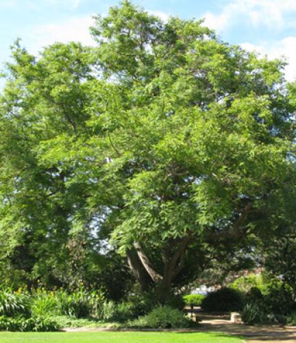 Tipu Tree8