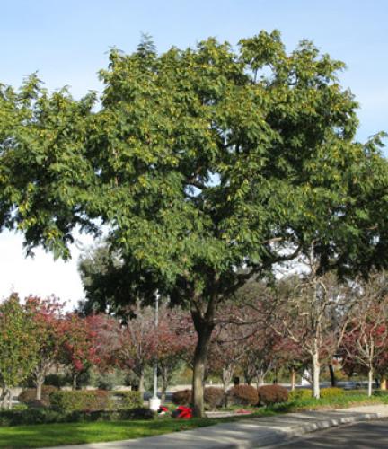 Tipu Tree9