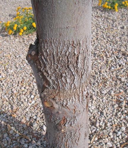 Willow Acacia5